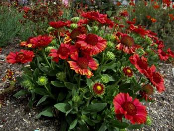gailardia Mesa Red - gaillardia grandiflora Mesa Red