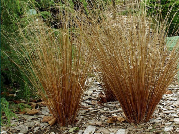 turzyca Buchanana -  Carex buchananii Red Rooster