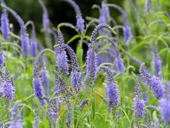przetacznik długolistny - Veronica longifolia