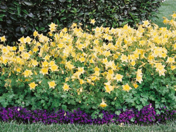 orlik Spring Magic Yellow - aquilegia caerulea Spring Magic Yellow