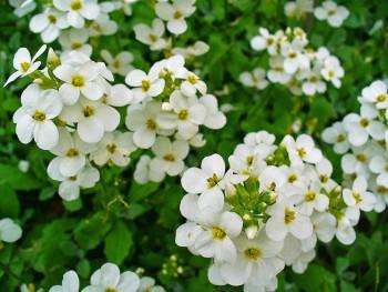 gęsiówka kaukaska Little Treasure White - arabis caucasica Little Treasure White