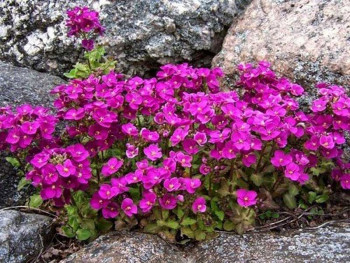 gęsiówka kaukaska Little Treasure Deep Rose - arabis caucasica Little Treasure Deep Rose