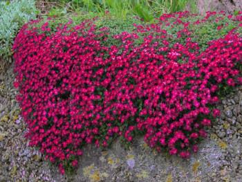 żagwin ogrodowy Audrey Red - aubrieta x cultorum Audrey Red
