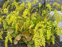 chiastofil naprzeciwlistny - chiastophyllum oppositifolium