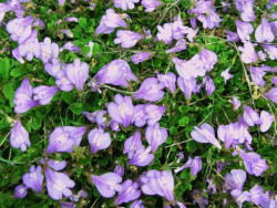 mazus purple - mazus reptans purple