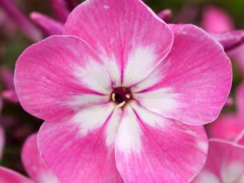 płomyk Flame Pink Eye - Phlox paniculata Flame Pink Eye