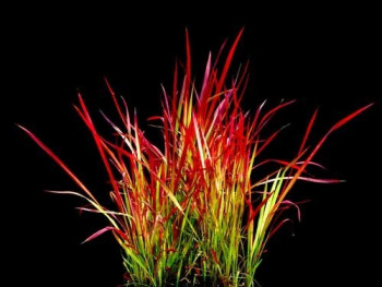 imperata Red Baron -...