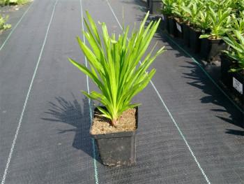 liatra kłosowa - liatris spicata