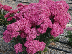 rozchodnik Mr. Goodbud - sedum Mr. Goodbud