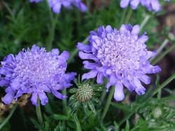 driakiew Ritz Blue - Scabiosa japonica var. alpina Ritz Blue
