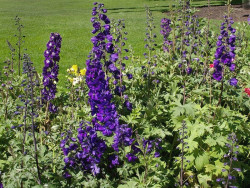 ostróżka Black Knight - delphinium x cultorum Pacific Series Black Knight