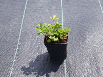pięciornik nepalski Miss Wollmoutt - potentilla nepalensis