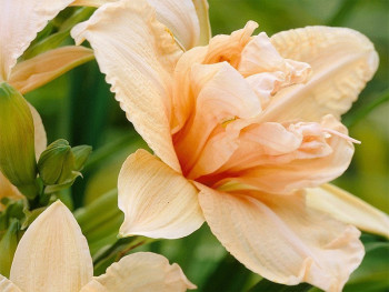 liliowiec Double Dream - Hemerocallis Double Dream