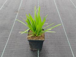 liatra kłosowa Kobold - liatris spicata Kobold