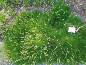 kostrzewa miotlasta (niedźwiedzie futro) - Festuca scoparia