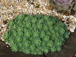rozchodnik grubopędowy - sedum pachyclados