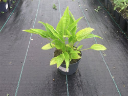 jeżówka Big Kahuna - echinacea Big Kahuna