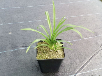 liliowiec Roswitha - Hemerocallis Roswitha