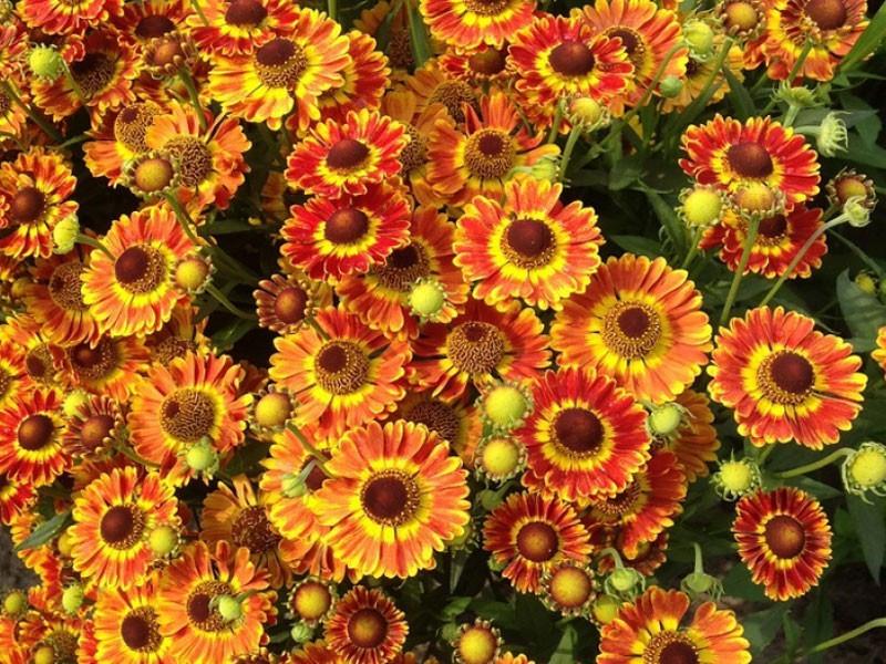 dzielżan Fuego - Helenium autumnale Fuego