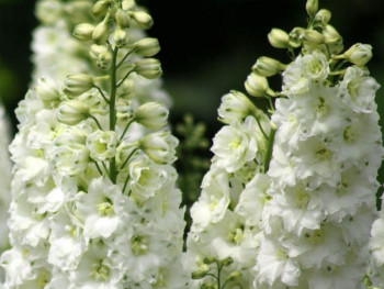 ostróżka biała Galahad - Delphinium Pacific Series Galahad