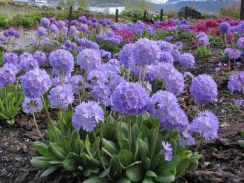 pierwiosnek fioletowy Blue Selection - Primula denticulata Blue Selection
