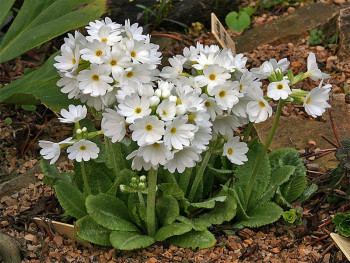 pierwiosnek fioletowy Blue Selection - Primula denticulata Blue Selection