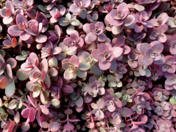 rozchodnik Sunsparkler Firecracker - sedum Sunsparkler Firecracker