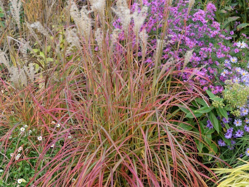 miskant chiński Little Miss - miscanthus sinensis Little Miss