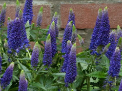 przetacznik First Glory - Veronica longifolia First Glory