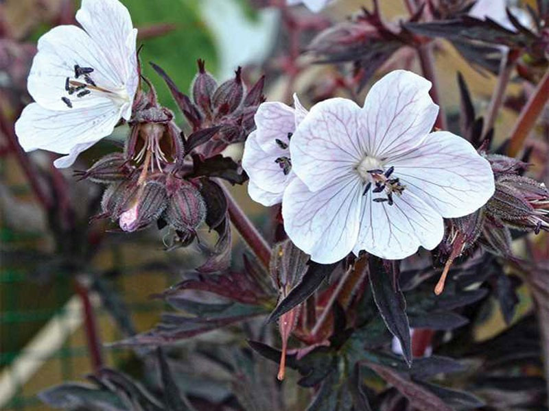 bodziszek Purple Ghost - Geranium pratense Purple Ghost