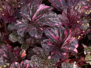żurawka Midnight Rose - heuchera Midnight Rose