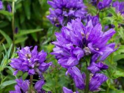 dzwonek skupiony Bellefleur Blue  - campanula glomerata Bellefleur Blue
