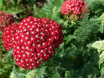 "krwawnik pospolity - achillea millefolium ""Red Velvet"""