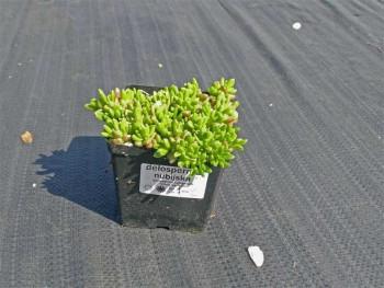 delosperma nubijska - delosperma nubigenum Yellow Ice Plant