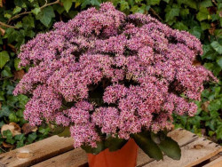 rozchodnik Cloud Walker - sedum Cloud Walker