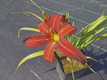 liliowiec Red Magic - Hemerocallis hybrida Red Magic