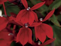 lobelia Starship Scarlet - lobelia speciosa Starship Scarlet