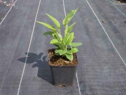 jeżówka Cheyenne Spririt  - echinacea purpurea Cheyenne Spririt