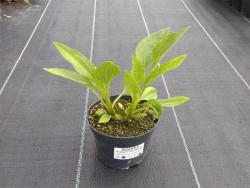 jeżówka Supreme Cantaloupe - echinacea Supreme Cantaloupe
