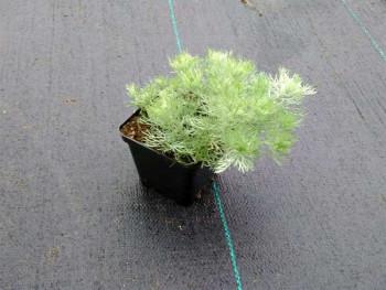 """bylica Schmidta - artemisia schmidtiana """"Silver Mound"""""""