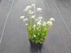 szarotka alpejska - leontopodium alpinum