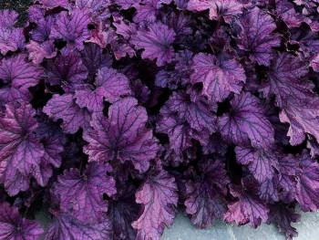 żurawka Forever Purple-...