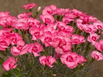 goździk różowy Angel of...
