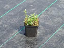 posłonek ogrodowy Watergate Orange - Helianthemum hybrida Watergate Orange