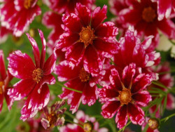 nachyłek Cranberry Ice- Coreopsis Cranberry Ice