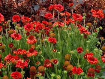 gailardia wielkokwiatowa Red Sun - gaillardia grandiflora Red Sun