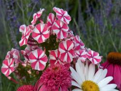 płomyk Peppermint Twist - Phlox paniculata Peppermint Twist