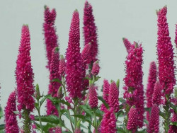 przetacznik First Love - Veronica spicata First Love
