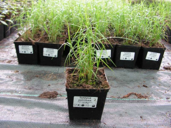turzyca Little Midge - Carex muskingumensis Little Midge