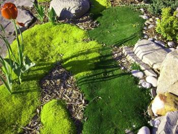 karmnik ościsty - sagina subulata